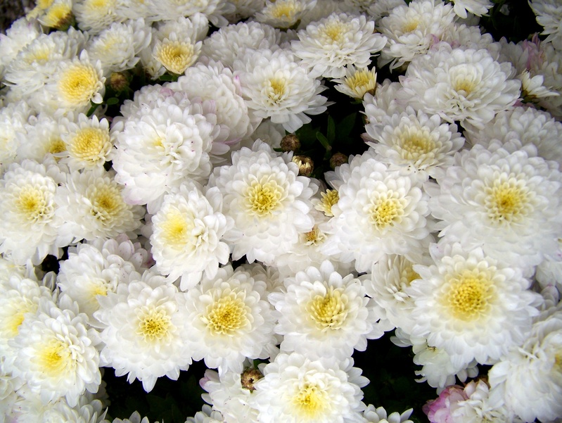 White flowers as background